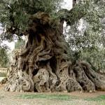 """""""Ölmez ağacın peşinde yolculuk""""  sürüyor"""